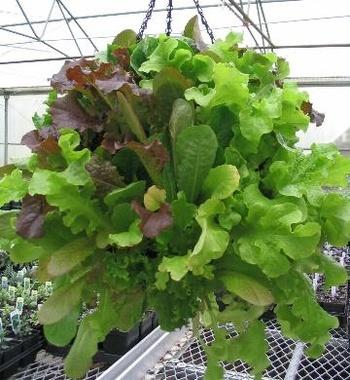 hanging-lettuce-basket-350x380