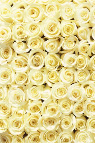 cream-roses
