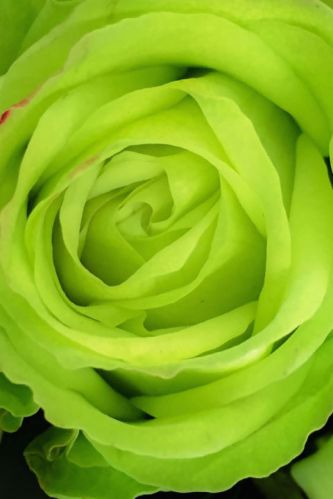 green-rose