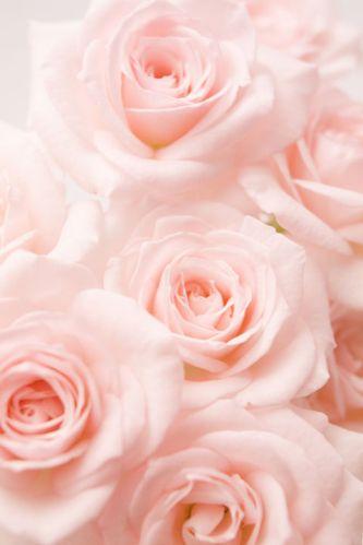 light-pink-roses