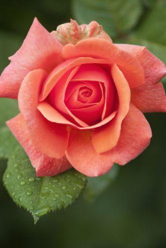 salmon-rose